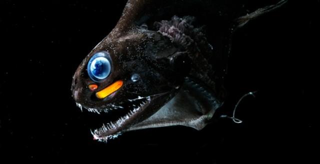 Ejemplar de 'Pachystomias microdon', uno de los peces que ve en el espectro del rojo  Foto:Edith Widder, Ocean Research & Conservation Assoc