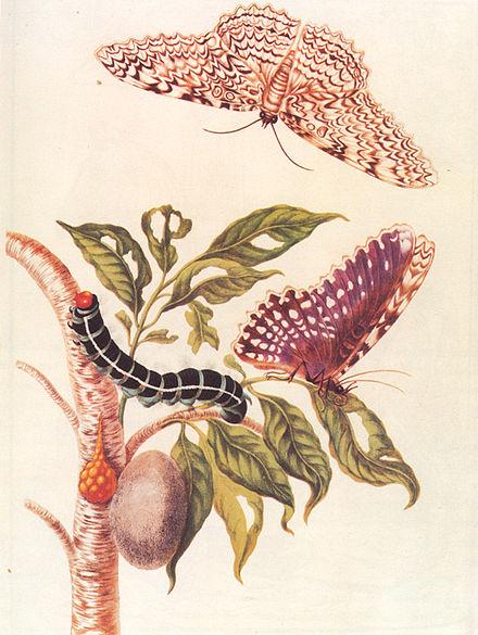 Metamorfosis de una mariposa (1705), ilustración realizada por Maria-Sibylla Merian.