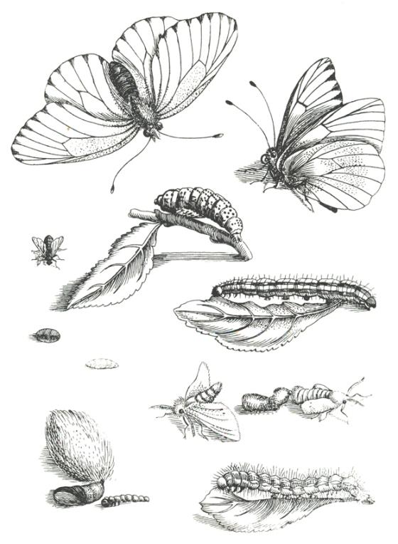 Plancha extraída de Erucarum ortus, de Maria-Sibylla Merian.
