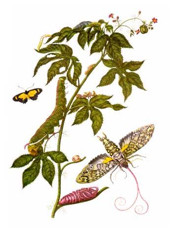 Ilustración de la obra Metamorfosis de los insectos del Surinam, realizada por María Sibylla Merian.